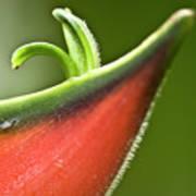 Heliconia Orthotricha Poster