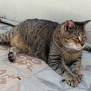 Hemingway Polydactyl Cat Poster