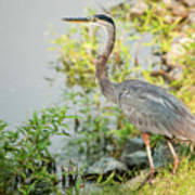 Henry The Great Blue Heron Poster