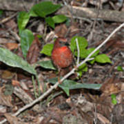 Hepatic Tanager At The Coba Ruins Poster