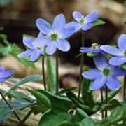 Hepatica Blue Poster by Lori Frisch