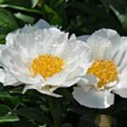 Herbaceous Peony 1 Poster