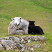 Herdwick Sheep On A Hillside In Cumbria Poster