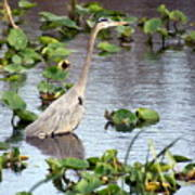 Heron Fishing In The Everglades Poster