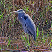 Heron In Marshes Poster