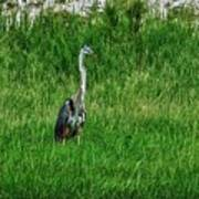 Heron In The Grasses Poster
