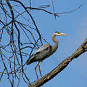 Heron In Tree  4998 Poster
