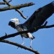 Heron Spreads Wings Poster