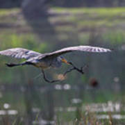 Heron With Nesting Material Poster