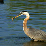 Herons Catch Poster