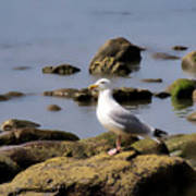 Herring Gull At Charmouth Poster