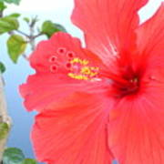 Hibiscus At Full Bloom Poster