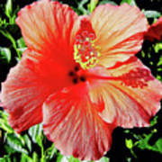 Hibiscus - Dew Covered - Beauty Poster