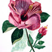 Hibiscus Dusky Rose Poster