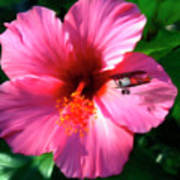 Hibiscus Fly-by Poster