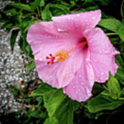 Hibiscus On A Rainy Day Poster
