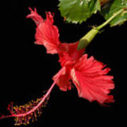 Hibiscus On Black Background Poster