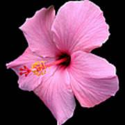 Hibiscus On Black Poster