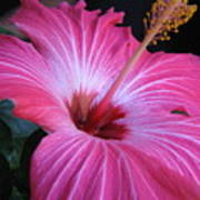 Hibiscus Photograph Poster