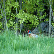 Hiding In The Grass. Pheasant Poster