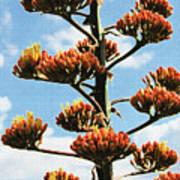 High Country Red Bud Agave Poster