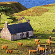 Highland Cottage With Highland Cattle Poster