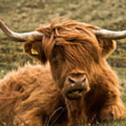 Highland Cow Color Poster by Justin Albrecht