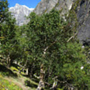 Himalayan Bhojpatra Trees 4 Poster