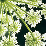 Himalayan Hogweed Cowparsnip Poster