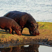 Hippo Mother And Child - Botswana Africa Poster