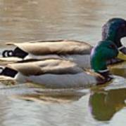 Two Mallards Swimming Quietly Poster