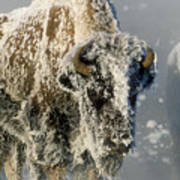 Hoarfrosted Bison In Yellowstone Poster