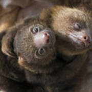 Hoffmanns Two-toed Sloth Orphans Hugging Poster by Suzi Eszterhas