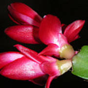 Holiday Cactus - A Close Up Poster