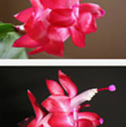 Holiday Cactus - Day And Night Poster