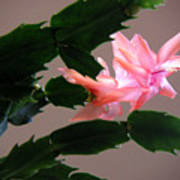 Holiday Cactus - On Wings Poster