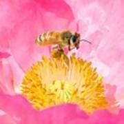 Honey Bee Collecting Pollen Poster