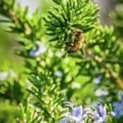 Honey Bee On Bush Poster