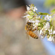 Honey Bee On Herb Flowers Poster