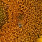 Honey Bee On Sunflower Poster