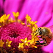 Honey Bee Pollinating Zinnia Poster