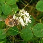 Honeybee On Clover Looking At Camera Poster