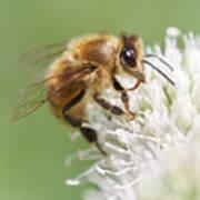Honeybee on Rattlesnake Master Poster