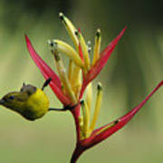 Honeyeater On Bird Of Paradise Poster