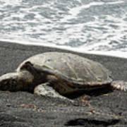 Honu Sleeping On The Shoreline At Punalu'u Poster