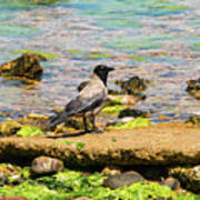 Hooded Crow Poster