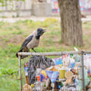 Hooded Crow With Garbage Poster