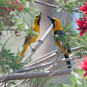 Hooded Oriole Duo Poster