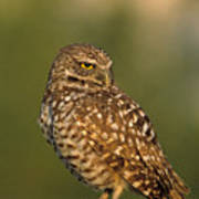 Hoot A Burrowing Owl Portrait Poster