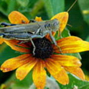 Hopper On Black Susan Flower Poster